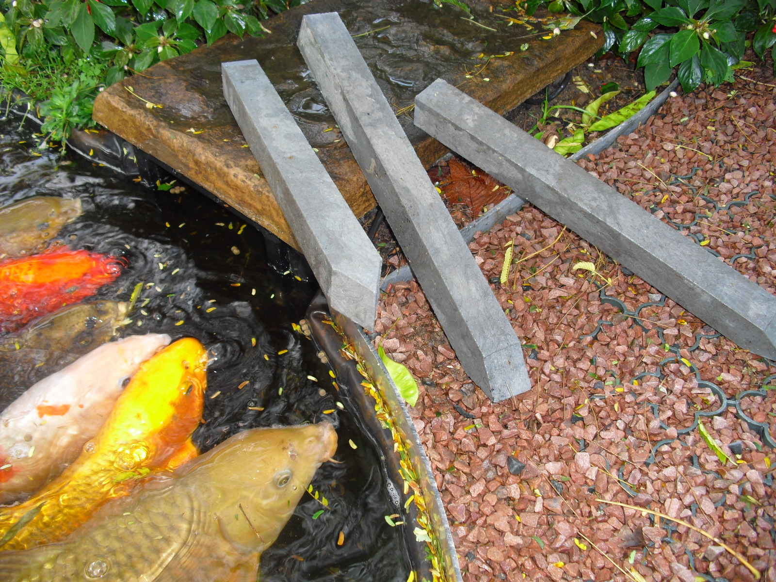 koi dan un bassin de jardin